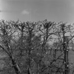 fruit-trees in blossom