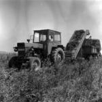 Harvesting peas