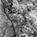 Blooming pear tree Răcătău