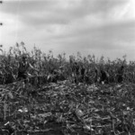 corn harvest