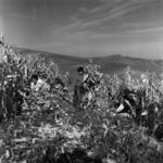 manual corn harvesting