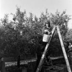 apple picking, Podgoriei