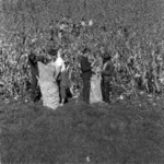 Corn harvest, Baciu