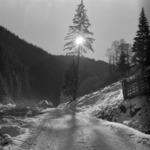 Valea Ierii, pine