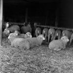 I.A.S., Poina, lamb farm