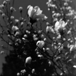 Botanical garden,in front of the oncology, magnolia