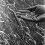 agriculture C.A.P. Câmpia Turzii, hand and wheat