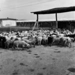 stock, sheep